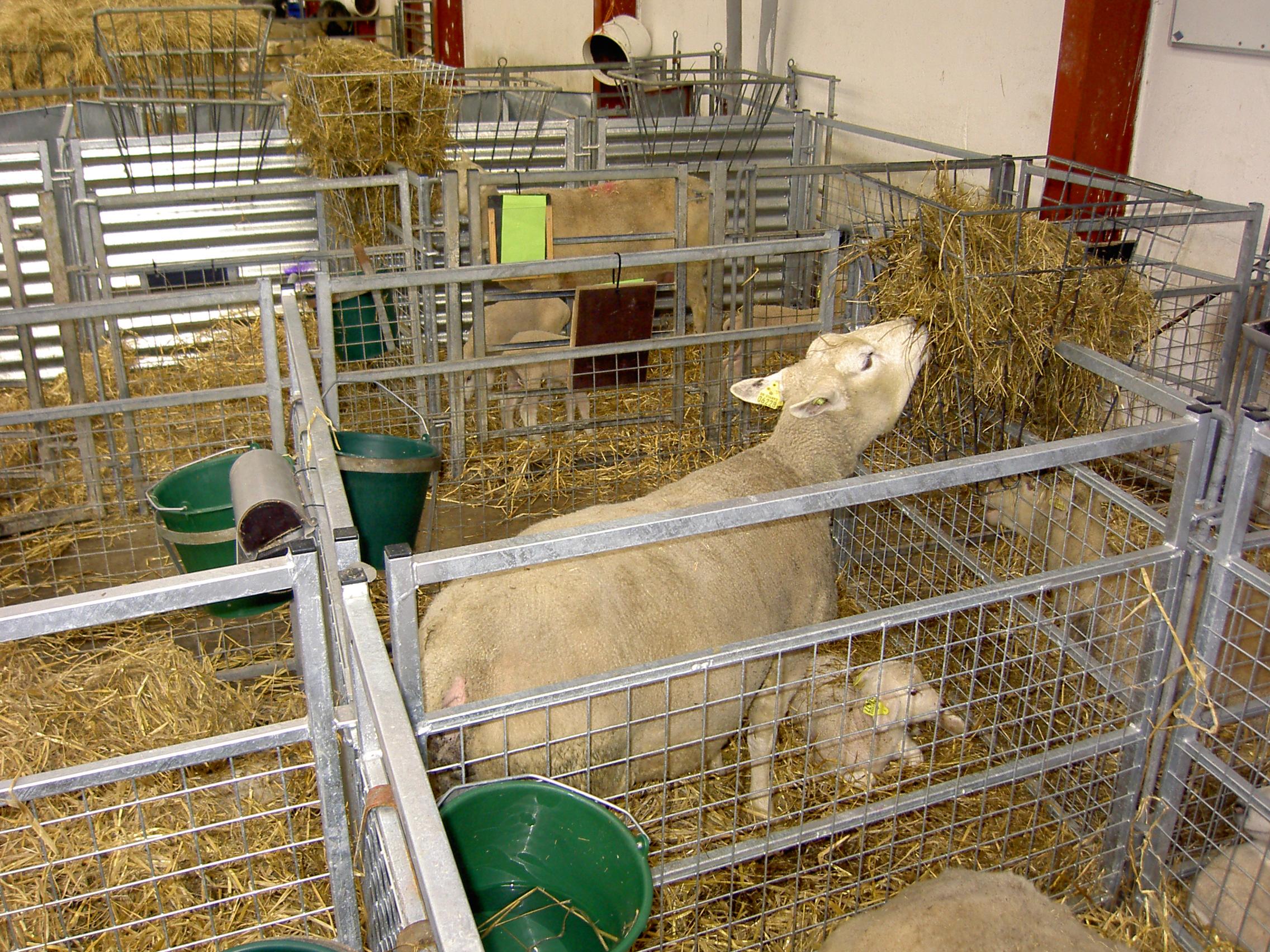 Kan man netop nu se de nye små lam her er åbent for besøg udefra
